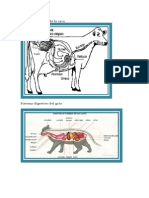 Sistema Digestivo de La Vaca