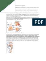 Relación entre el sistema circulatorio con el respiratorio