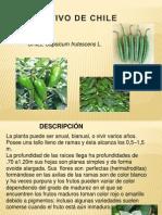 Cultivo de Chile