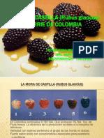 La Mora de Castilla en Colombia