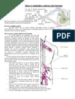 Complemento Nervios Raquideos y Plexos