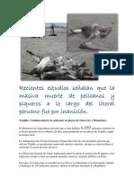 muerte de pelicanos