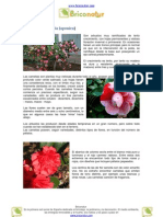 Camelias (Camellia Japonica)
