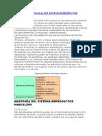 Anatomia y Fisiologia Del Sistema Re Product Or Masculino