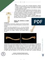 Osteología de miembro superior-1