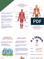 Tripticos Sistema Muscular