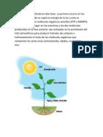 La fotosíntesis se divide en dos fases