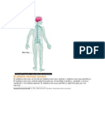 El Sistema Nervioso Humano