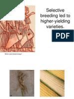 LBYMATB Selective Breeding