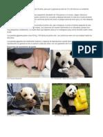 El Ciclo de Vida de Panda