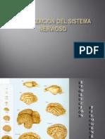 Organización del sistema nervioso