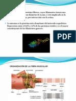 actina y miosina