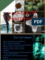 Alga Coklat Phaeophyceae