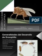 Desarrollo Embrionario de Drosophila