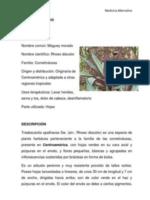 nombre cientifico de la planta maguey morado
