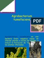 Agrobacterium.pptm [Autoguardado] [Autoguardado]