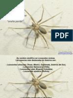 La Arana Parda-11499
