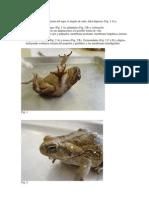 Manual Anfibios (2)