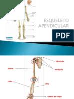 Anatomia Do Esqueleto Apendicular