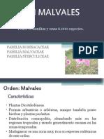 Orden Malvales (1)