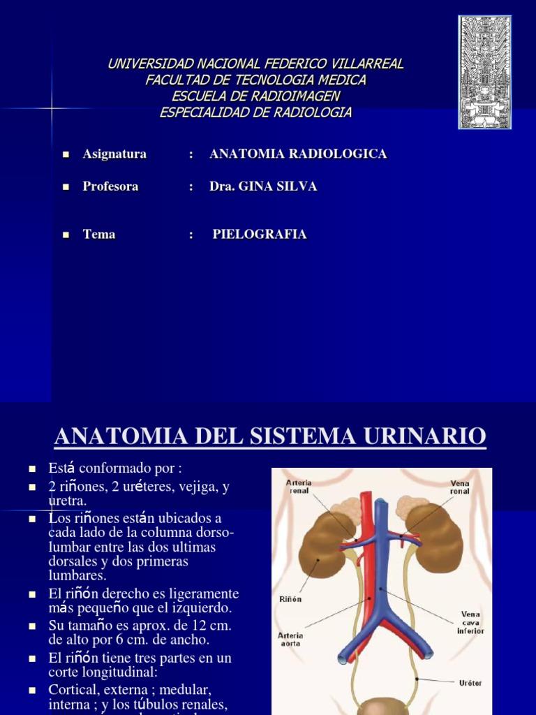 Encantador Uretra Masculina Anatomía De Radiología Adorno - Anatomía ...