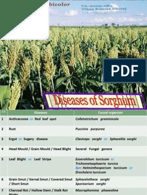 Disease of Sorghum   Botany   Fungus