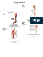Muscles of Lower Extremities