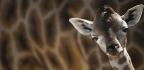 Giraffes Edge Closer To Extinction