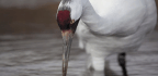 Texas Fines Whooping Crane Killer, Revokes Guns