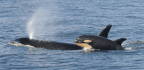 Why Killer Whales (and Humans) Go Through Menopause