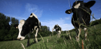 The FDA Wants to Regulate Gene-Editing That Makes Cows Less Horny