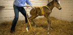 How Odd Behavior in Some Young Horses May Reveal a Cause of Autism