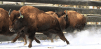 After More Than A Century, Bison Return To Canada's Oldest National Park