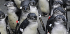Climate Change and Overfishing Set a Deadly Trap for Young Penguins