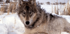 Hunters May Need to Keep Their Paws off Wisconsin Wolves