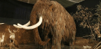 The Woolly Mammoth Die-off Was Even Sadder Than You Think