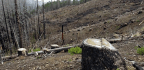 Does Salvaging Scorched Trees Hurt the Environment?