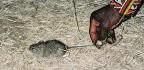 Mice Have Invaded Our Homes Since Before Farming