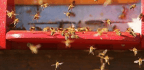 Watch These Bees Attack a Baseball Game—Then Learn Why They Did It