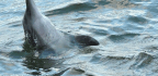Dolphins Beat up Octopuses Before Eating Them, and the Reason Is Kind of Horrifying