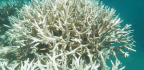 The Great Barrier Reef's Latest Unprecedented Bleaching Event Could Spell the End