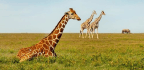 Wildlife Groups Want Giraffes Added To Endangered Species List