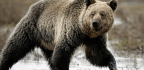 Grizzly Bears Have a Human Problem