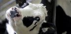 How Canadian Dairy Farmers Escape The Global Milk Glut