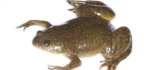 How a Frog Became the First Mainstream Pregnancy Test