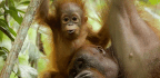 Orangutan Moms Are The Primate Champs Of Breast-Feeding