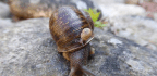 Tragic Love Triangle Is Sad For Lonely Rare Snail, Still Good For Science