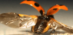 Scientists Sneak A Peek At How Ladybugs Fold Their Wings