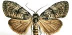 How Female Moths Snag Guys With Big Antennae