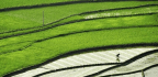 Rice Was First Grown At Least 9,400 Years Ago